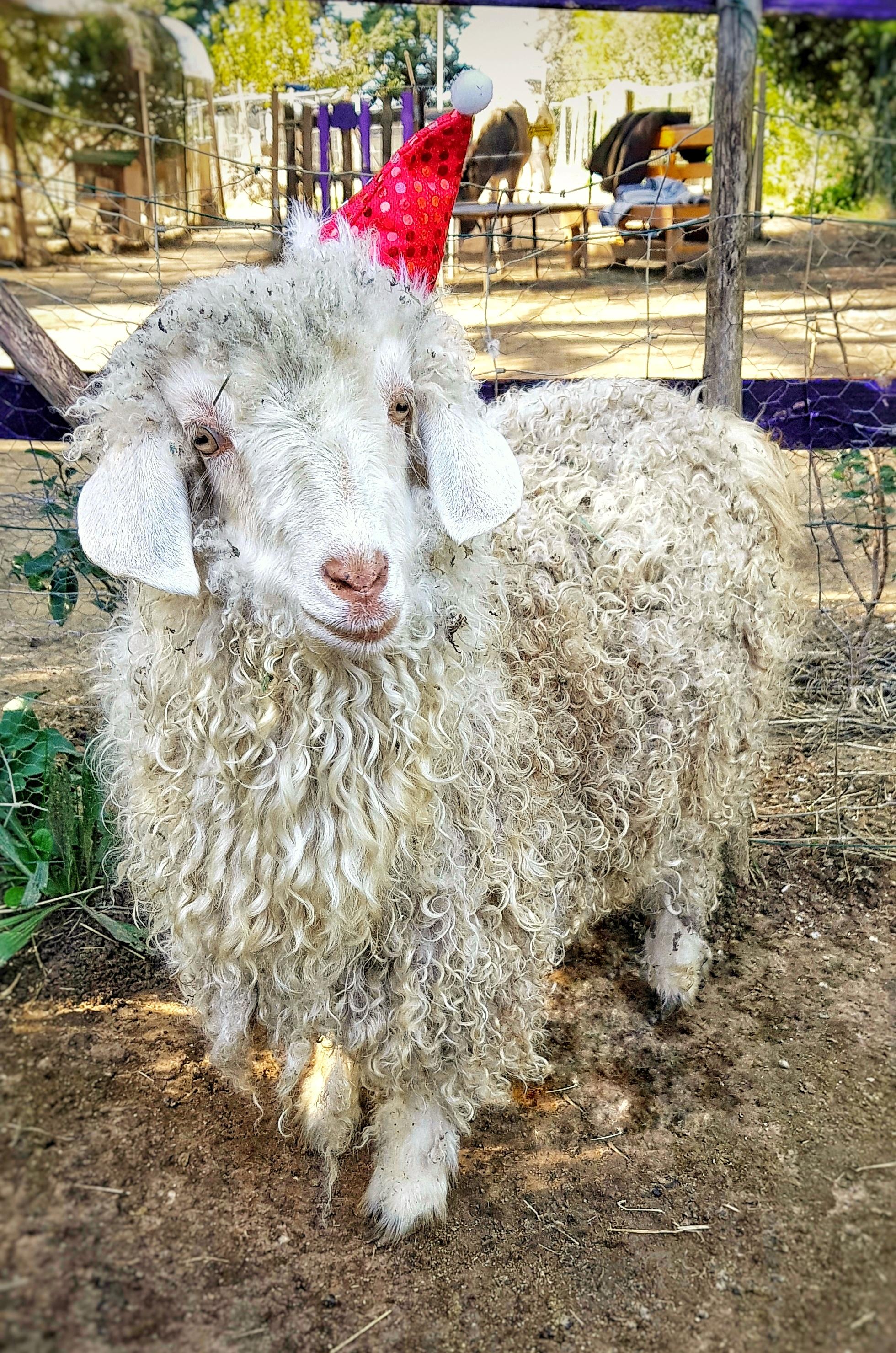 Castagnette la chèvre mohair