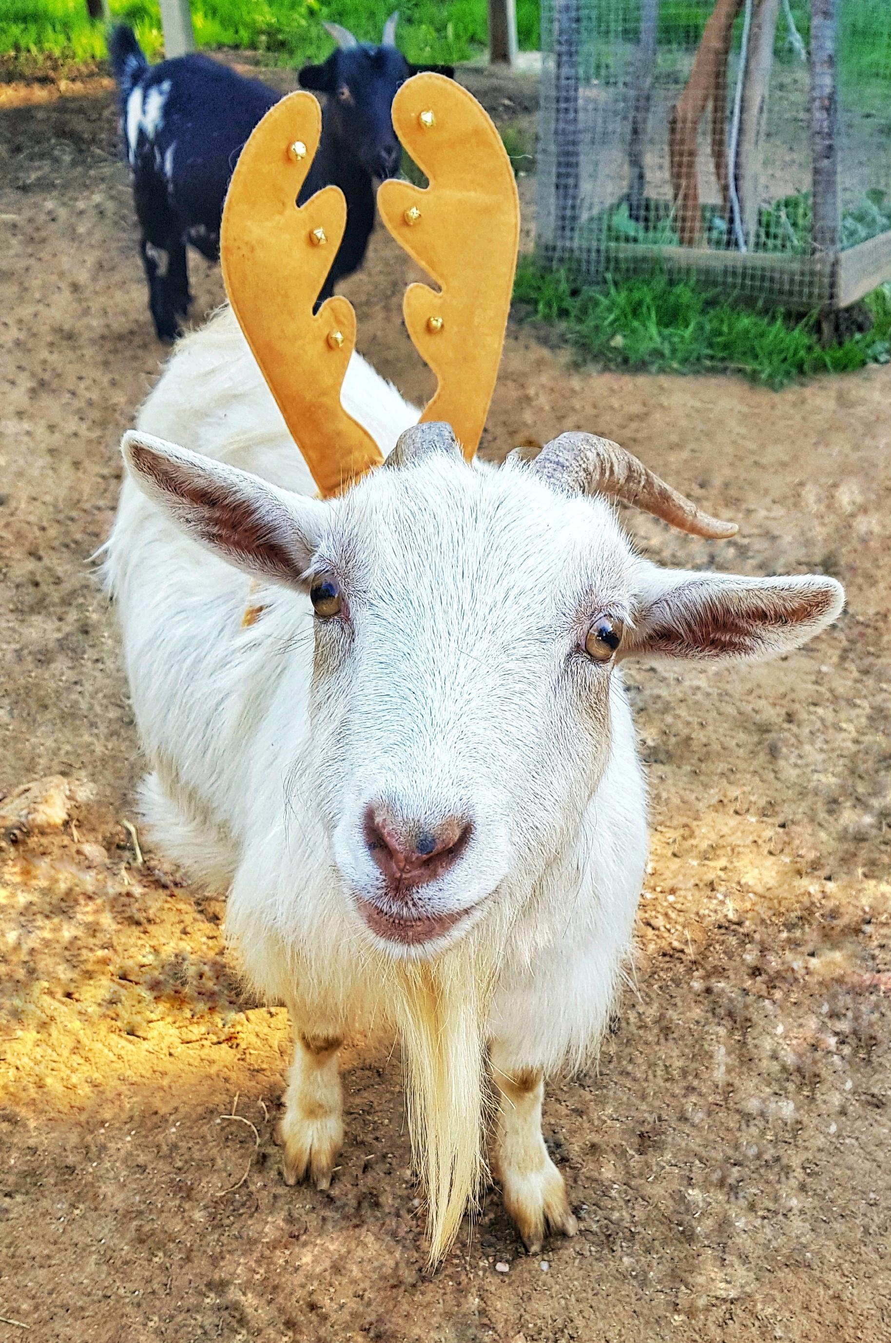 Lolita la chèvre blanche